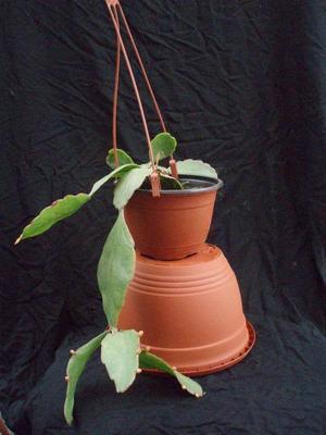 Rhipsalis pachyptera v. pachyptera - velká rostlina - 1