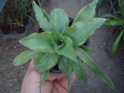 Cryptanthus acaulis 'Green' - 1