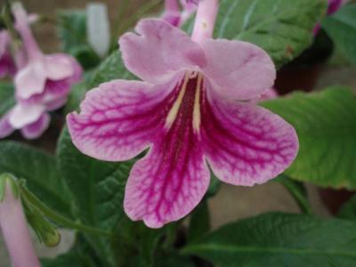 Streptocarpus 'Sandra'