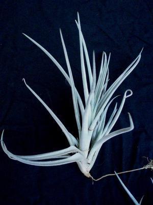 Tillandsia lorentziana - 1