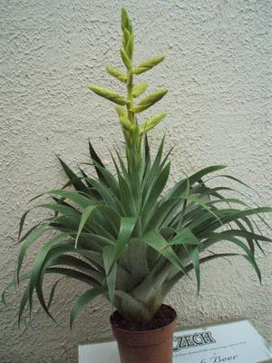 Tillandsia oerstediana - 1
