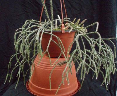 Rhipsalis pilocarpa - velká rostlina - 1