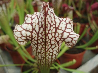 Sarracenia leucophylla - 1