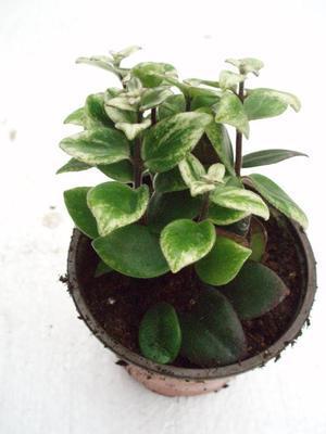 Aeschynanthus lobbianus 'variegatus' - 1