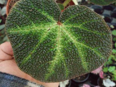 Begonia soli-mutata - 1