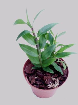 Dendrobium lawesii 'White-pink' - 1