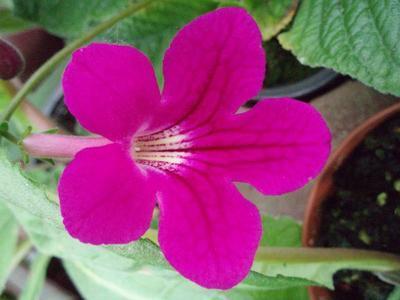 Streptocarpus 'růžovofialová' hybrid