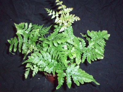 Rumohra adianthiformis (kapradina) - 1