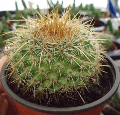 Mammillaria discolor - 1