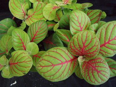 Fittonia verschaffeltii (světlezelená s červenou žilkou) - 1