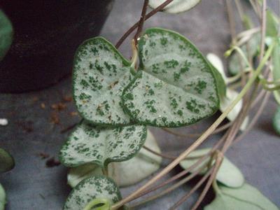 Ceropegia woodii ssp. woodii - 1