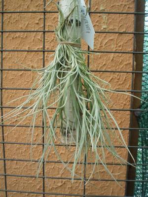 Tillandsia recurvata (trs)
