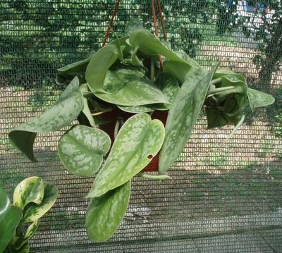 Scindapsus pictus 'Trebie' (velký) - 1