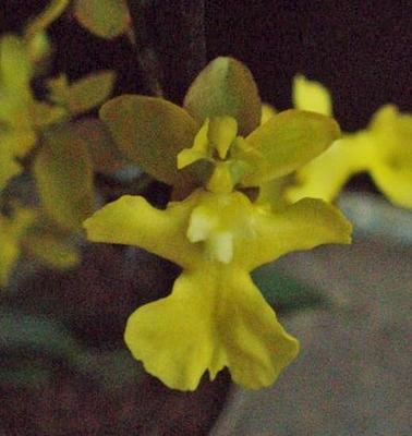 Kvetoucí orchidej mini Oncidium #2 - 1