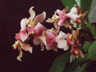 Kvetoucí orchidej mini Oncidium #3 - 1