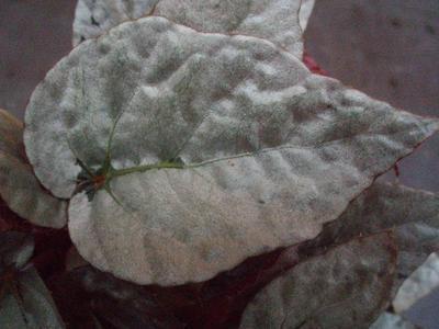 Begonia 'Silver Limbo' - 1