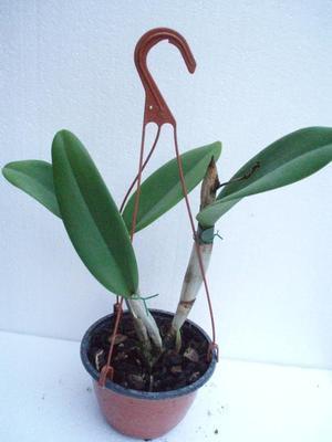 Orchidej Cattleya - květuschopná v závěsu 13cm - 1