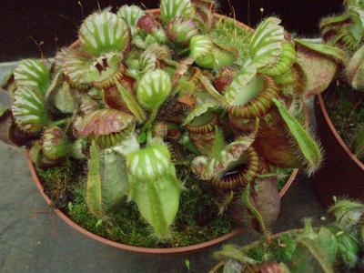 Cephalotus follicularis -XXL - 1