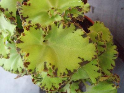 Begonia bowerae 'světlejší' - 1