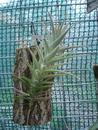 Tillandsia purpurea - 1/2