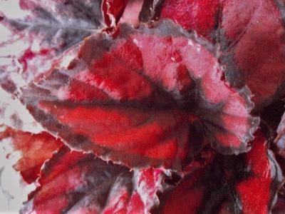 Begonia rex 'Red&Black' - 1