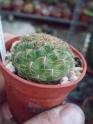 Sulcorebutia oenantha