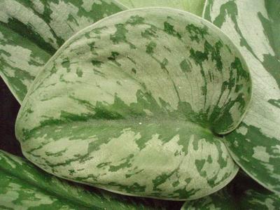 Scindapsus pictus 'Trebie' - 1
