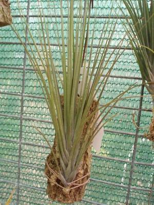 Tillandsia seideliana