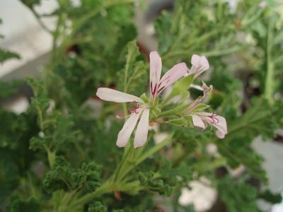 Pelargonium 'Poquita' - 1