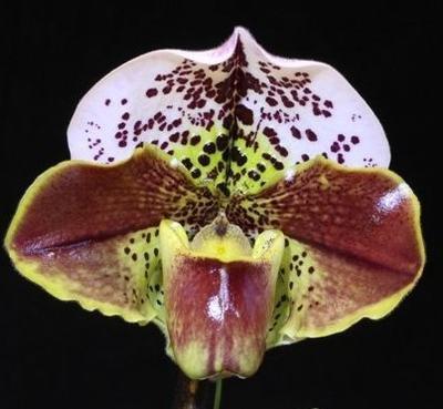 Paphiopedilum Sparsholt x Winston Churchil - 1