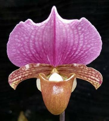 Paphiopedilum charlesworthii - 1