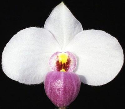 Paphiopedilum delenatii - 1