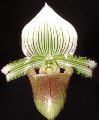 Paphiopedilum hennisianum - 1