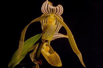 Paphiopedilum kolopakingii - 1
