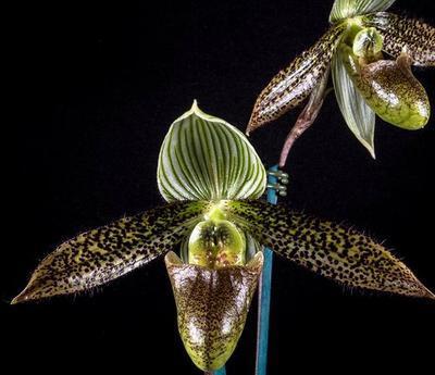 Paphiopedilum wardii - 1
