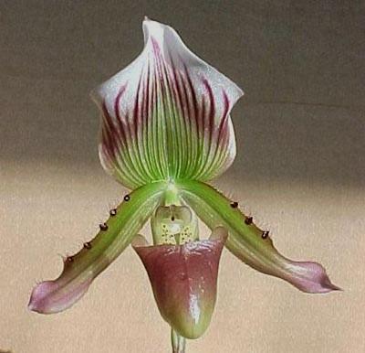 Paphiopedilum callosum - 1