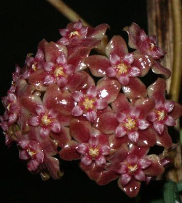 Hoya parasitica 'splash'