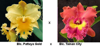 Blc. Pattaya Gold x Lc. Tainan City - 1