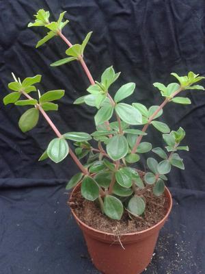 Peperomia verticilata - 1