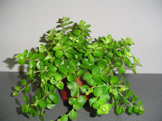 Peperomia rotundifolia - 1