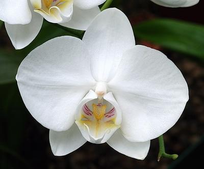 Phalaenopsis aphrodite - 1