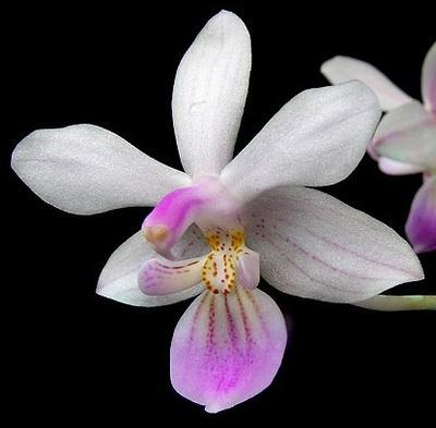 Phalaenopsis lindenii - 1