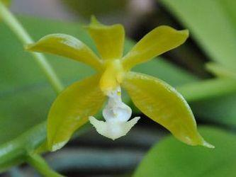 Phalaenopsis mannii var. flava - 1