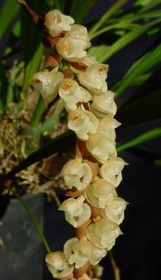Pholidota imbricata - 1
