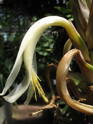 Pitcairnia macrochlamys - 1