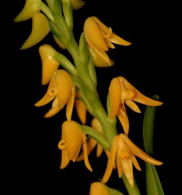 Polystachia bella - 1