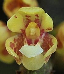 Pomatocalpa spicatum - 1