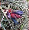 Puya medica (Cajamarca, Peru) - 1/3