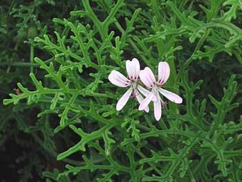 Pelargonium radens - 1