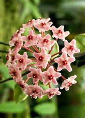 Hoya rubra (velká rostlina) - 1